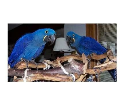 Healthy Hyacinth Macaw Macaw Parrots