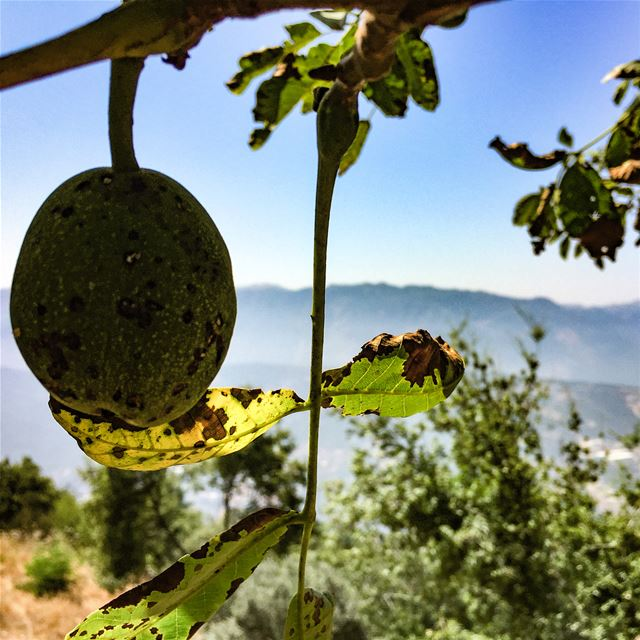 The kind of encounters you make on a mountain roadside  walnut  tree ... (Lebanon)