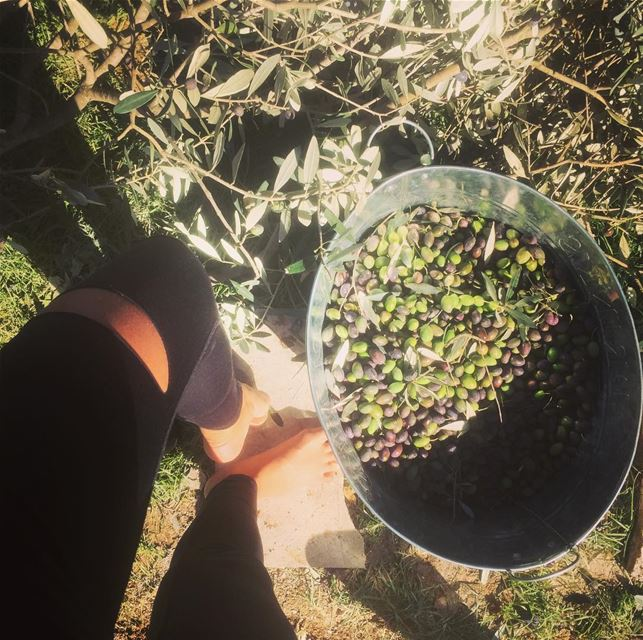 For the love of olive oil  our  olive  tree  morning  picking  before  i ...