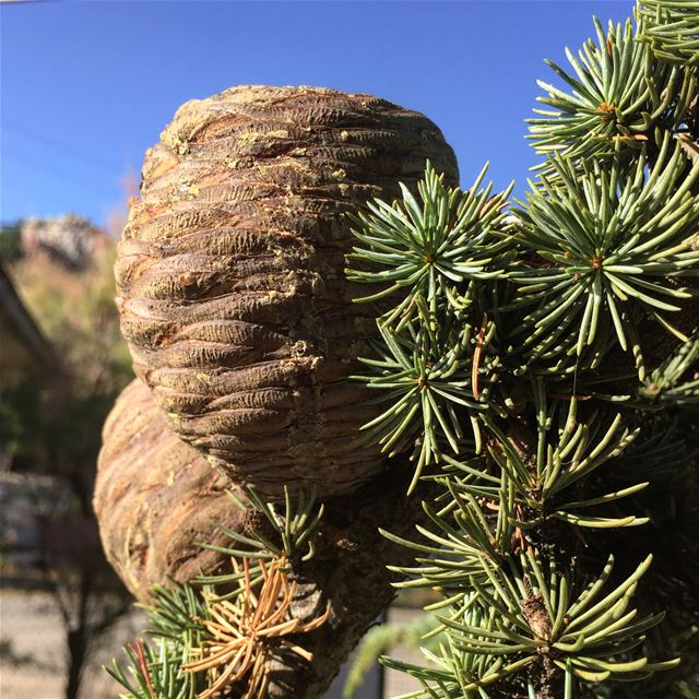 1. Cedar cones in their full splendor 2. Fallen cones. 3. Ripened dry...