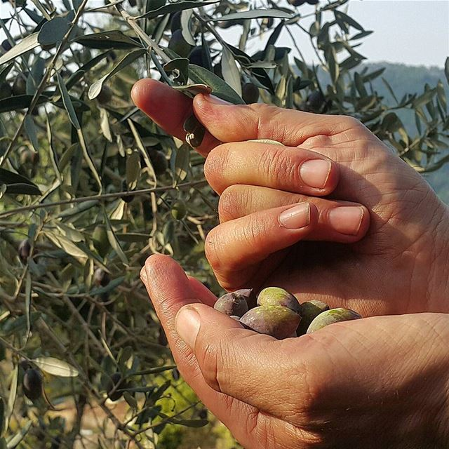 After another active day between olive grove and olive press, a fresh...