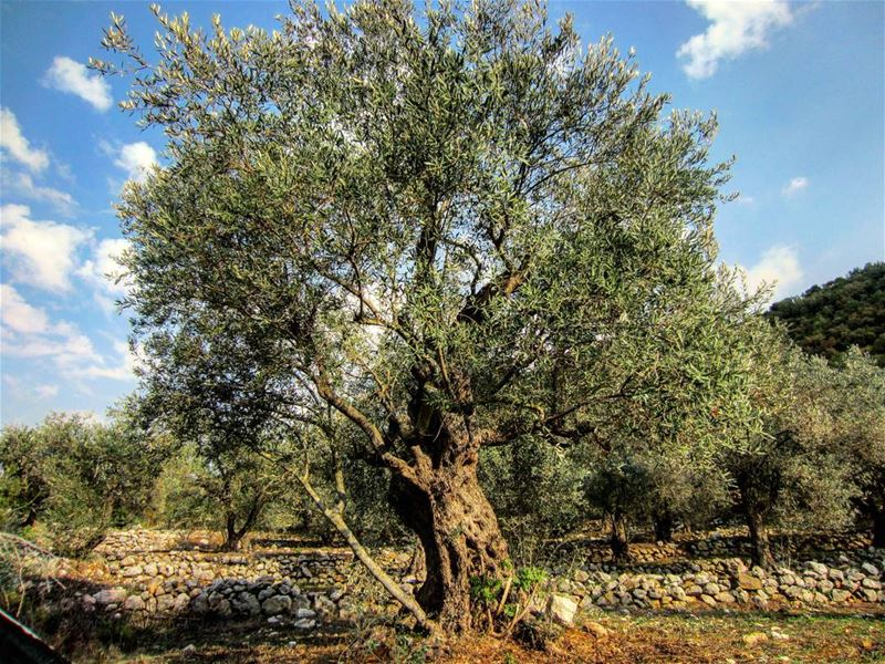 Happy  WorldOliveDay from Lebanon, the land from which the olive was...
