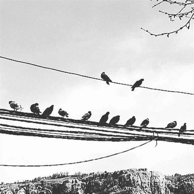 T H E  S Q U A D. squad  squadgoals  pigeon  wire  wired  birds  fly ... (Faraya, Mont-Liban, Lebanon)