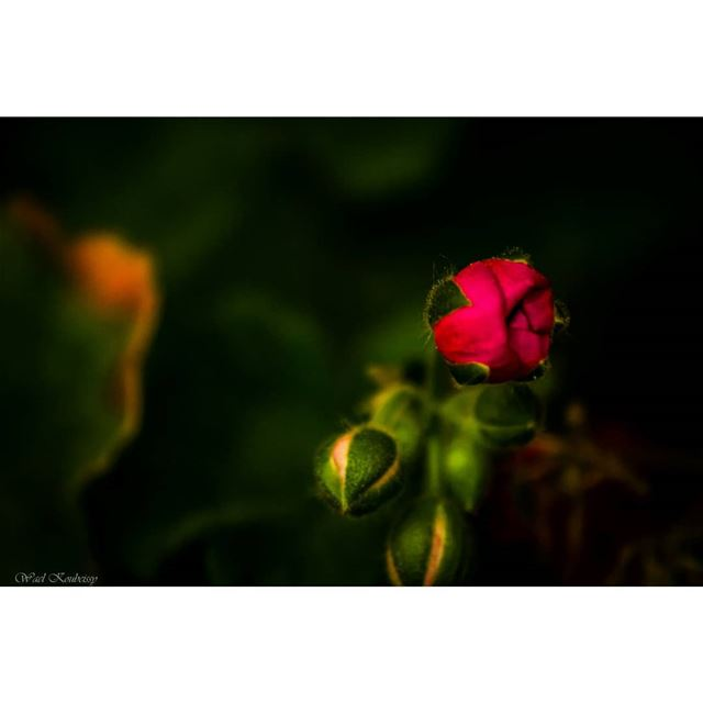 blooming  rose  nature  flower  earth  wildlife  flowers  red  green ...