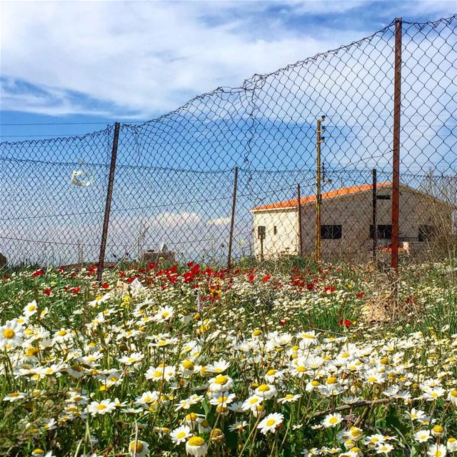 Can words describe the fragrance of the very breath of spring? 🌼Neltje... (Bhamdoûn, Mont-Liban, Lebanon)