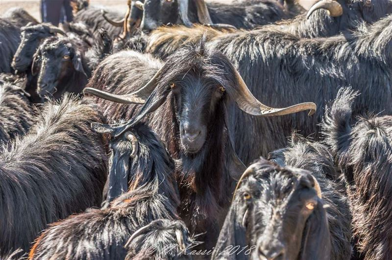 goat  pet  horns  portrait  portrait_perfection  bd_shotz ... (Baskinta, Lebanon)