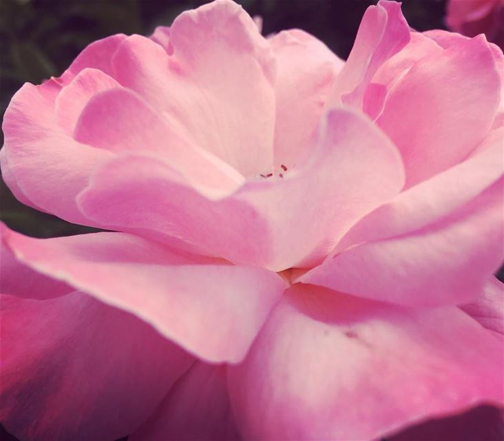flowers  pink ..  photo  photography  lebanon  young  instagram ...