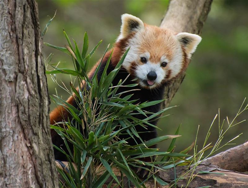 Look whose here!!...  red  panda taken in  scotland  zoo  zoological  park...