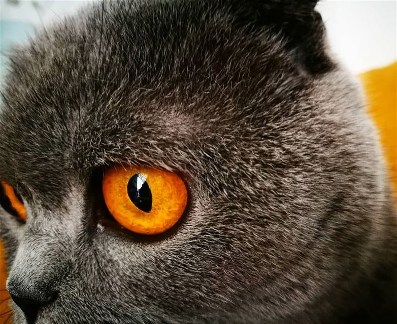 cat eyes 💜  lookatthenose 🐈 graycee  scottishfold grey  cat  yellow ...