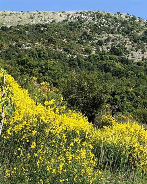 Scenic drive around the Chouf. The sweet fragrance of Scotch broom fills...