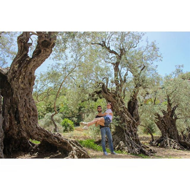 """Sisters"" or the Olive trees of Noah, are among the oldest olive trees in... (Bchaalé, Liban-Nord, Lebanon)"