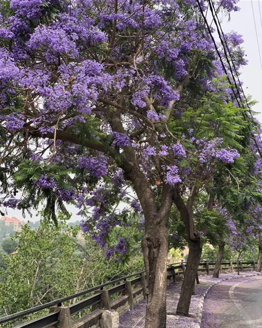 Let me snap up all these jacarandas, their blossoms don't last that long. ...