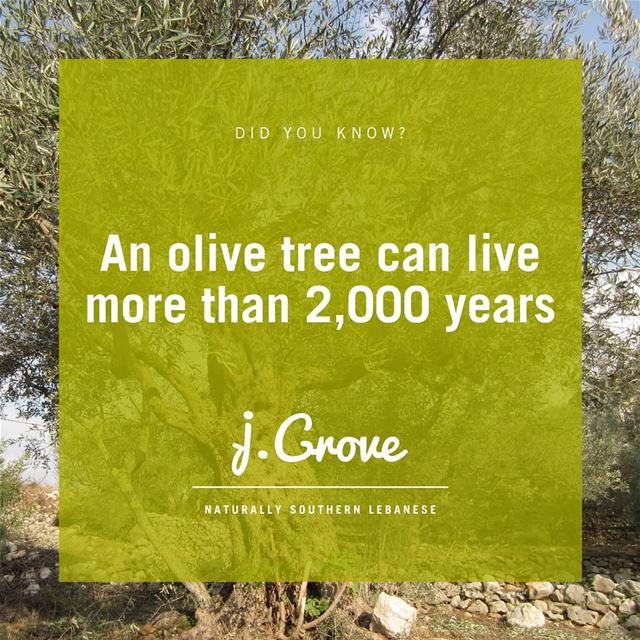 The olive tree is one of the oldest known cultivated trees in the world....