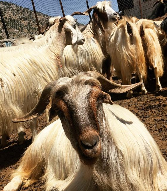 Acquaintance  goats  animals  streetphotography  cheeba  mountains  farm ... (Cheeba)