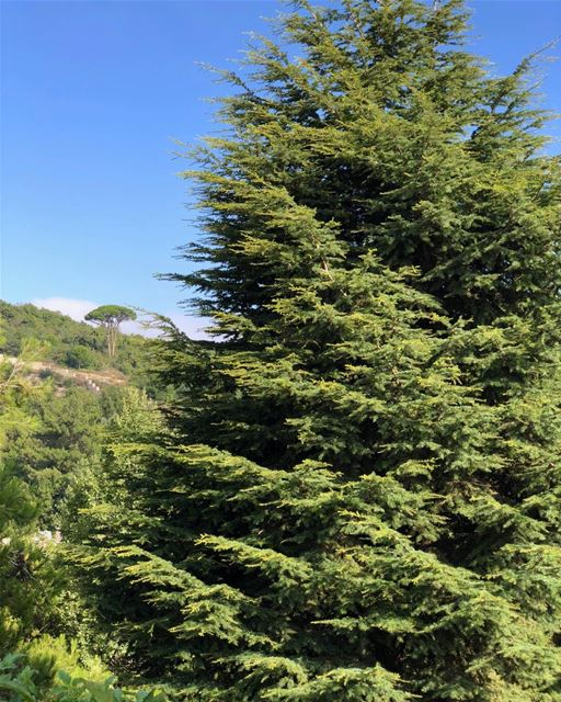 It's only a 20-year old baby cedar, but it looks all grown-up.  backyard ... (Dayr Al Qamar, Mont-Liban, Lebanon)