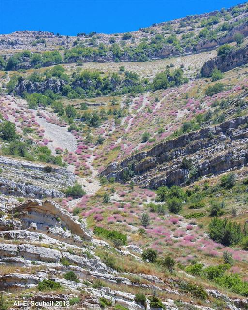 The pinkish nature  moutain  tb  akoura  pink  flowers  hiking  colorful ... (Akoura, Mont-Liban, Lebanon)