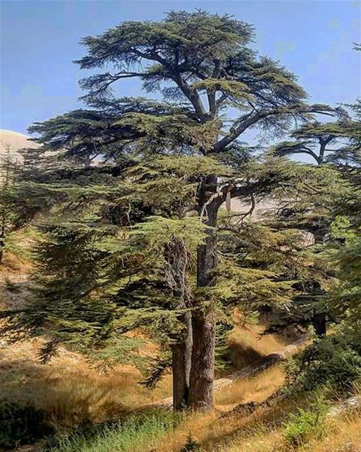 Morning 😀 lebanon  cedarsoflebanon  cedarsofgod  morning  positivevibes ... (The Cedars of Lebanon)