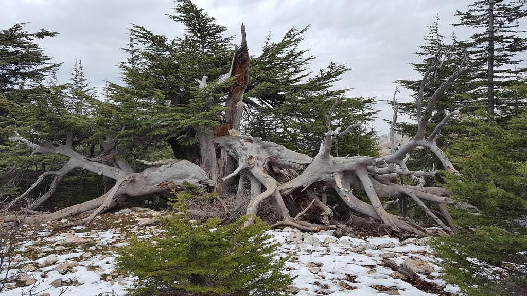 The  majestic  cedars of the  chouf. More from Ambassador Hugo Shorter ...