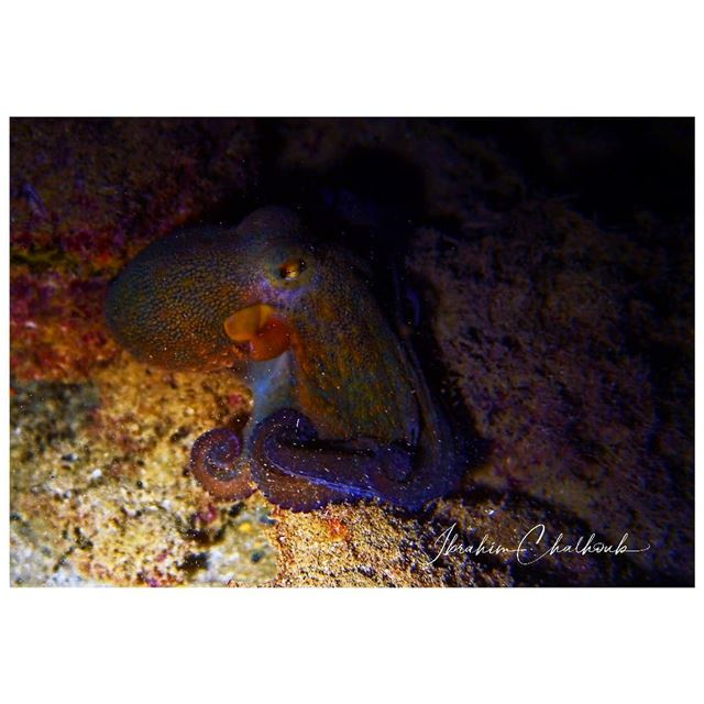 Boo -  ichalhoub was shooting an  octopus  underwater at  night while ...