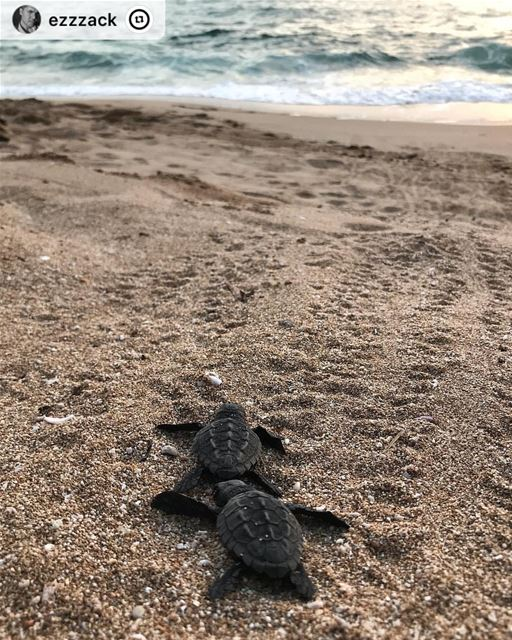 """Hold on friend, we're going home.🐢🌊 PS: ''we all need to recognise the... (Tyre Coast Nature Reserve - محمية شاطئ صور الطبيعية)"