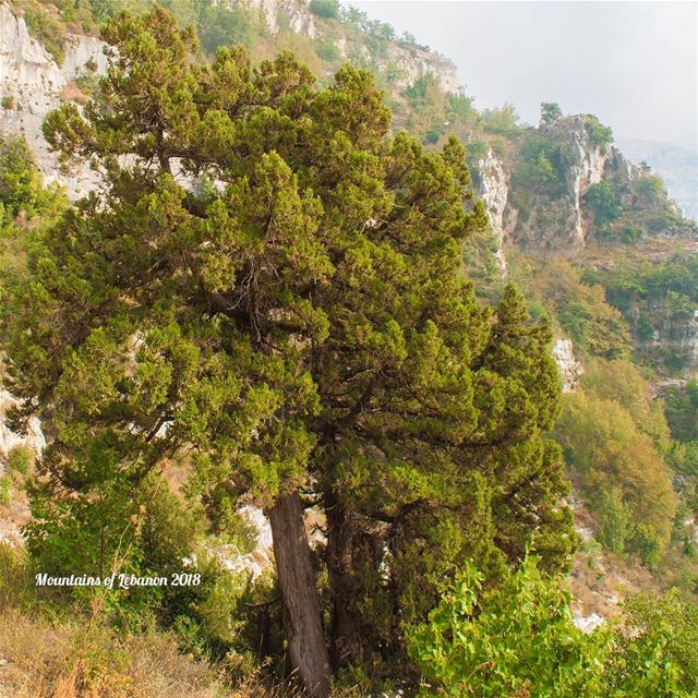 The Junipers trees are more resilient than the Cedar trees! They grow on... (Akoura, Mont-Liban, Lebanon)