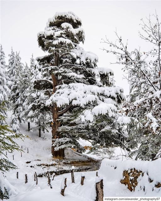 Into the snowy Wonderland ❄️❄️❄️ - Arz Bcharre known as Cedars Of God... (Cedars of God)