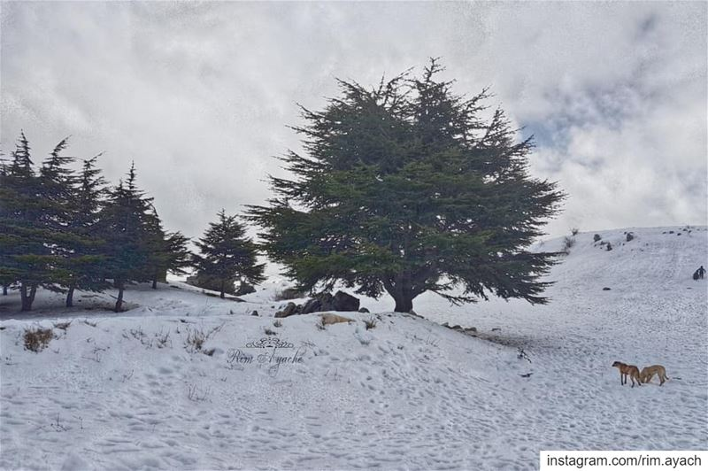 Snow is a white candle emitting warm beauties around it! lebanonweekly ... (Falougha, Mont-Liban, Lebanon)