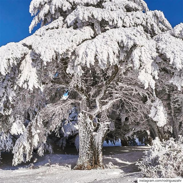 When  snow and  extreme  cold turns   Akkar's highest  cedars  forest into...