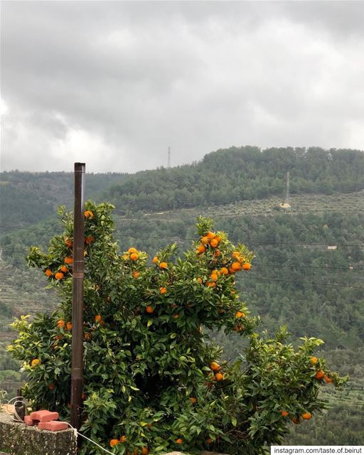 When things look dreary, look for an orange tree; lots of them everywhere ...