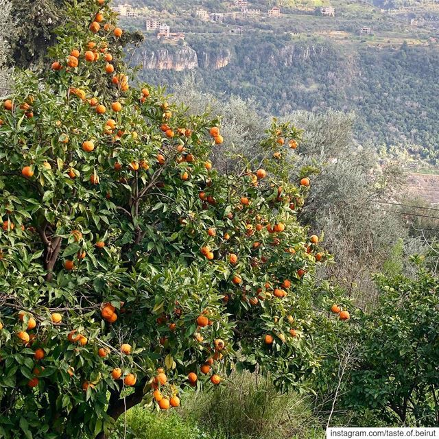 Just glancing below the falafel joint.  lebanesescenes  orangetrees... (Kafr Him, Mont-Liban, Lebanon)