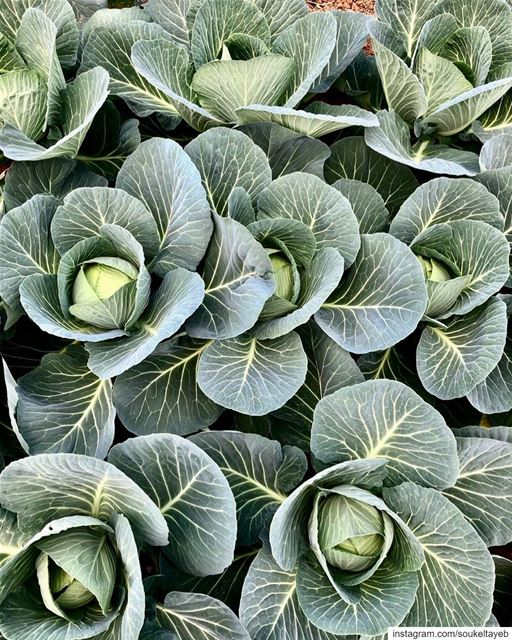 Fun fact about cabbage: In Ancient Rome, Ancient Egypt and more recently...