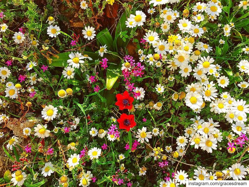 Spring in  Lebanon 🌺🌼🌸 ....... Flower  Flowers  Daisies ... (Chouf)
