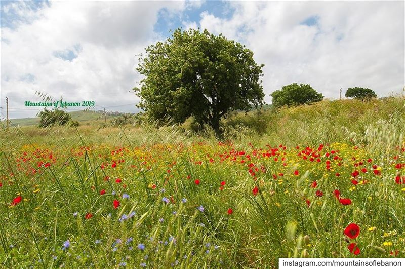 Red, Yellow and blue flowers in the middle of green fields! (area of... (Akkar Trail درب عكار)