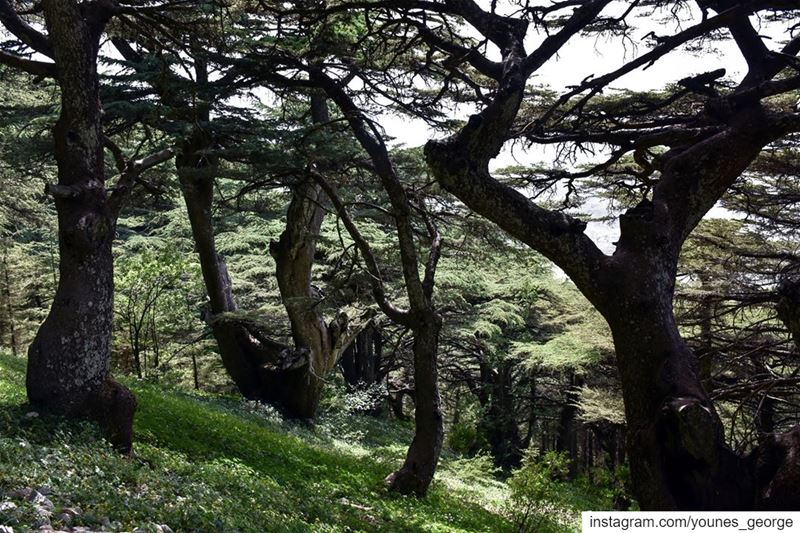 Springtime at the Cedar Forest of the Shouf Nature ReserveSee more of my... (Al Shouf Cedar Nature Reserve)
