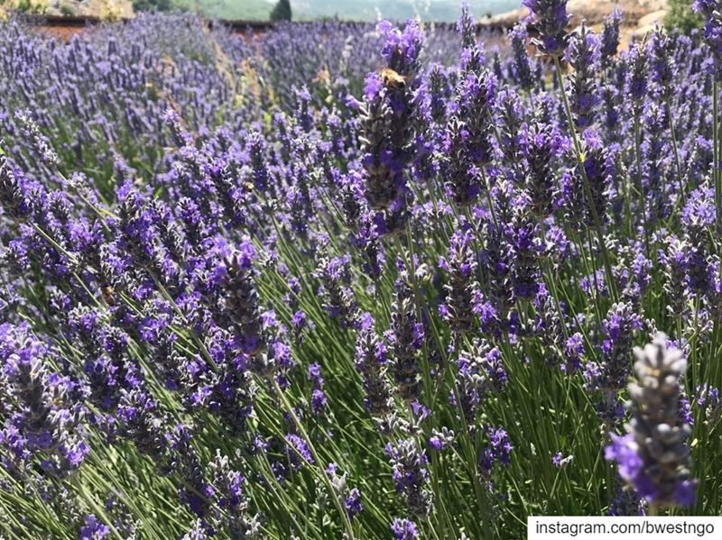 🍃☀️ Our local lavender makes our closet smell like a summer's dream🌷🐝 (Ammiq Reserve)