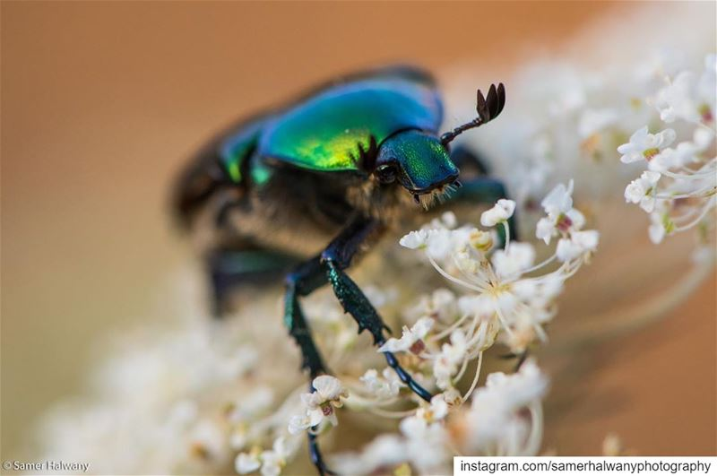 Meet the  rosebeetle ...shot in  ainab  lebanon  nature  macro ...