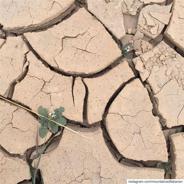 Drought...Dry crack mud earth with new life emerging from between the...