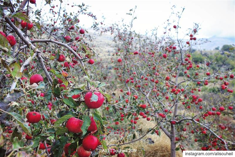 🍎🍎🍎  tb  montlebanon  apples  mountains  trees  colors   colorful ... (Bkâatouta, Mont-Liban, Lebanon)