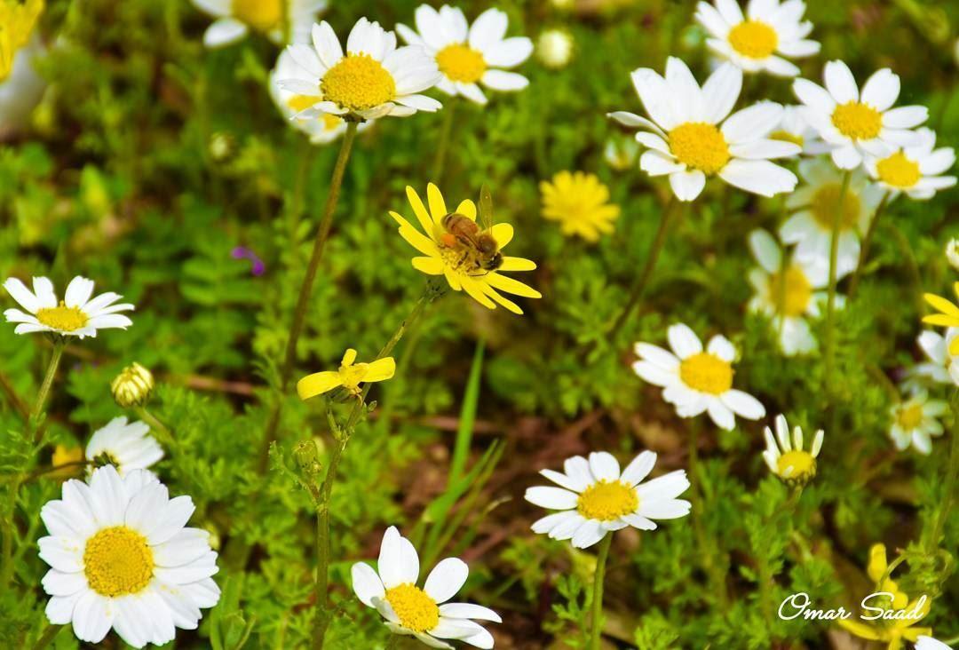 A busy bee springday springbreak flowers bee honey flower fields a busy bee springday springbreak flowers bee honey flower fields beirut lebanon mightylinksfo