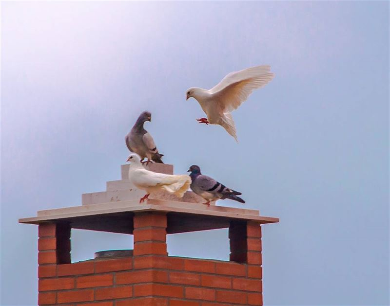 landing...... pigeon birds bird peace peacful sun fly flying sky...