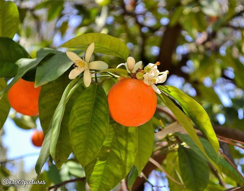 nature  fruit  orange  naturephotography  lebanon  tb  throwback  picture... (Lebanon)