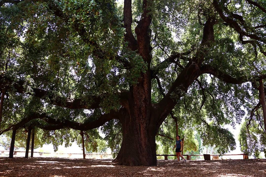 The biggest Oak tree in the MiddleEast exists in Lebanon ...
