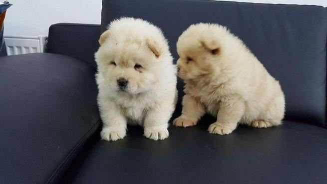 Chunky Chow Chow Puppies For Adoption Lebanon In A Picture