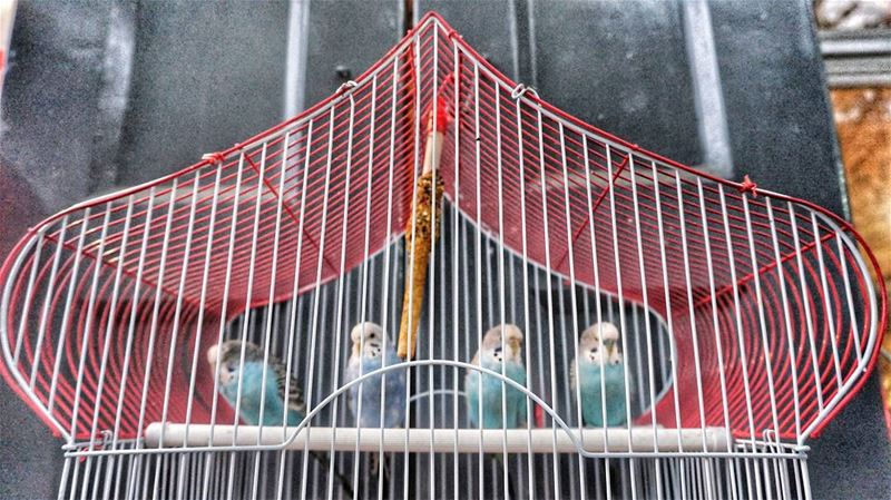 4 some??  love  birds  lovebirds  lebanon  cage  moutains  sunday ...
