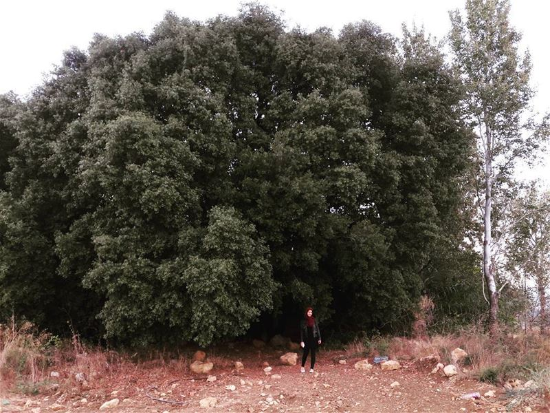 حد شجرة البلوط  oak  tree  tree  big  green  beautiful  automn  2017 ... (Al Khiyam, Al Janub, Lebanon)