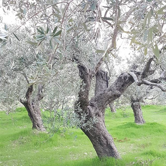 Alice in wonderolives ;)Wandering in the olive groves of Kfarhata,... (Kfarhata- El Koura)