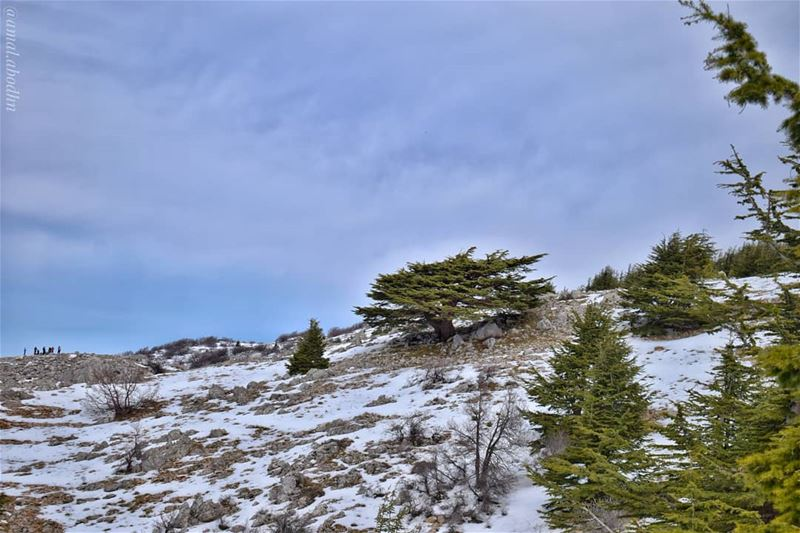 أرزة بالباروك...  lebanon  photography  photographylovers  photographyart ... (Al Shouf Cedar Nature Reserve)