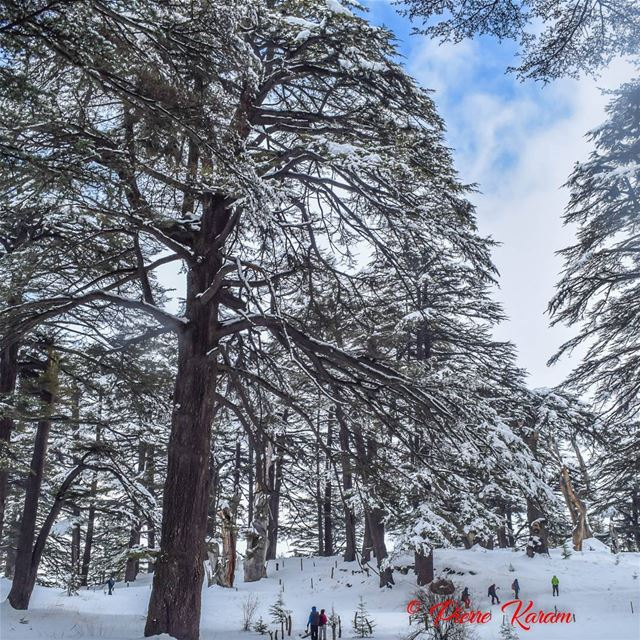 standing small in fornt of  Cedars of  God  lebanon  majesty  wonderfull...