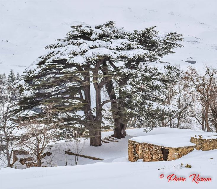Her  majesty 👑The  Cedars of  God  lebanon wonderfull  day forest ...