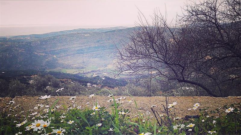 There is a flower , a little flowerWith a silver tiara and a golden eye ... (Machmoûché, Al Janub, Lebanon)